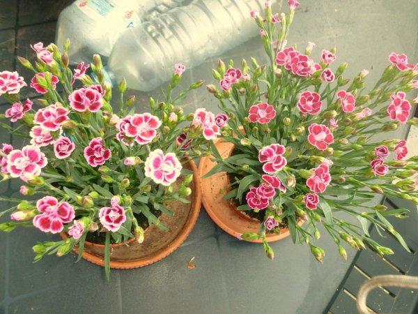 mes derniers petit achat de fleurs!!