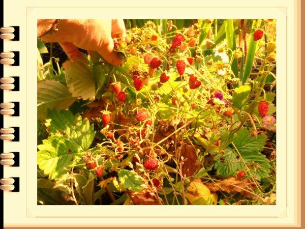 oh les belles fraises des bois