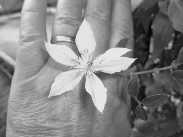 DERNIERE FLEUR DE CETTE  clématite rose