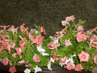 mes grande jardinières elle sont a l'abris heureusement !