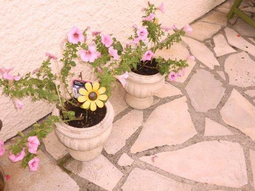 j'ai enfin  remis des fleurs dans  mes potées de VENDEE