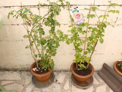 mes 2 nouveaux rosiers acheter enj uin