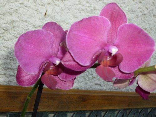 ma trouvaille de ce soir ! ((((  2 orchidées  FATIGUEES comme moi   )))!                                             chez     PROMOFLEURS
