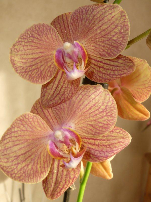 BONNE SEMAINE  D'AVRIL  ma dernière orchidée