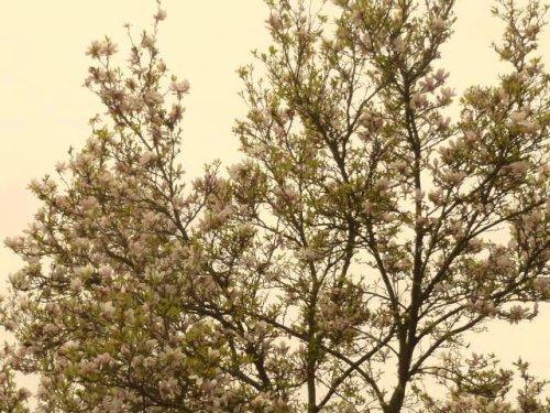 BELLE SEMAINE A VOUS  la  fin pour les magnolias
