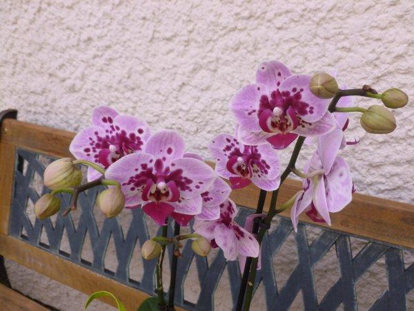 la 2 ème orchidée  du mois de mai