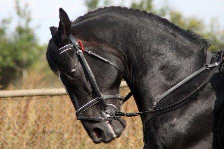 mon chevale black