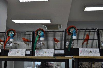 concours de canari de couleur a rabat