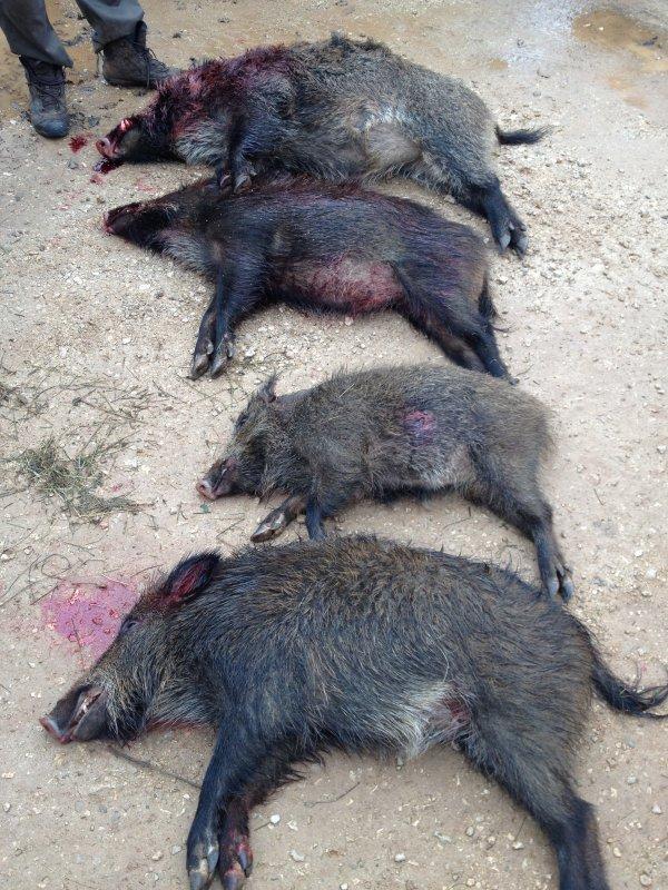 Chasse au sanglier viols le fort battu n 27 4 sanglier - Cuisiner le sanglier au four ...