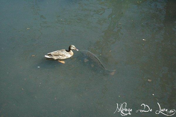 Sur ou sous mon lac la magie est présente, un canard qui a perdu son chemin le demande à un poisson...