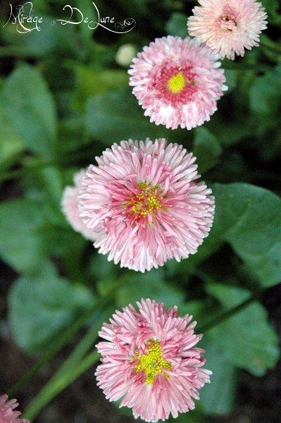 De nouvelles fleurs de mon jardin