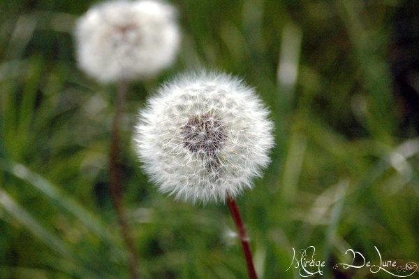 la fleur à souhaits des sorcières...