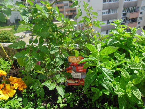 bonjour mes amies et amis sur mon blog  voici notre balcon les fraises commence a pousser nous avons mit des tomates cerise et d'autre choses et voici les photos et je vous souhaitent à vous tous une belle après midi avec le soleil en ce mercredi et je vous fait des mille fois des gros bisous à vous tous de ton amie gisèle qui vous adorent beaucoup car l amitiè c est très sacrè pour moi dans mon coeur