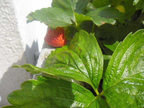 bonsoir mes amies et amis voici mon balcon et oui sa y est mes fraises son bien rouge il ne manque plus que mes tomates je vous souhaitent vous souhaitent de tout coeur de passèe une très belle soirèe et je vous fais tout plein de gros bisous a vous tous ton amie gisèle car l amitiè c est très sacrè pour moi dans mon coeur avec vous tous