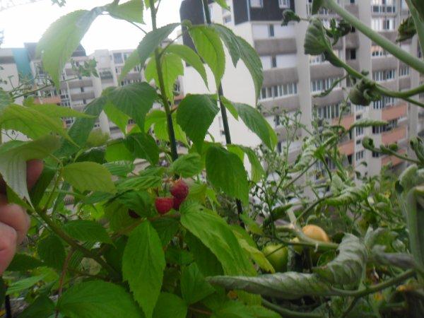 bonsoir a vous tous je vous mets quelques photos de mon balcon avec mes tomates mes framboises mes fraises mes tomates cerises et surtout ma salade et je suis trop contente que sa pousse bien
