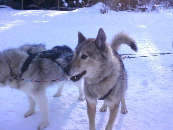 D'autres Husky