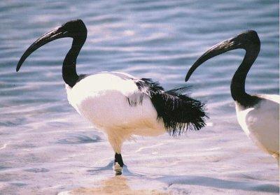 L 39 ibis sacr blog officielle d egyptys for Oiseau a long bec