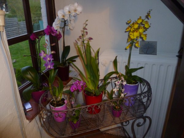 MES ORCHIDEES...
