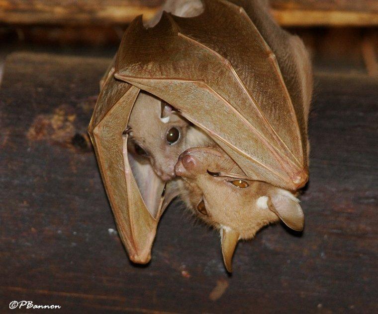Gestation Chauve Souris la chauve-souris à épaulettes - blog de x-toutlesanimaux-x