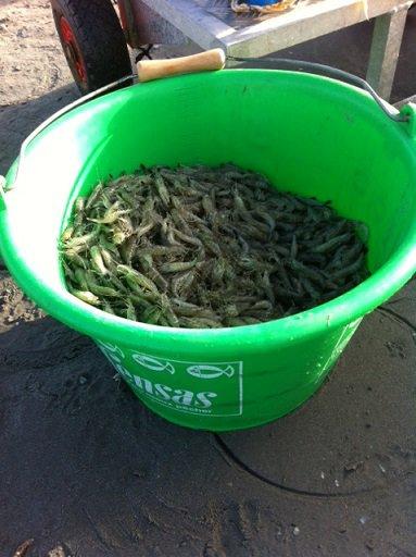 Pêche à la Crevette plage de Malo (18-10-14)