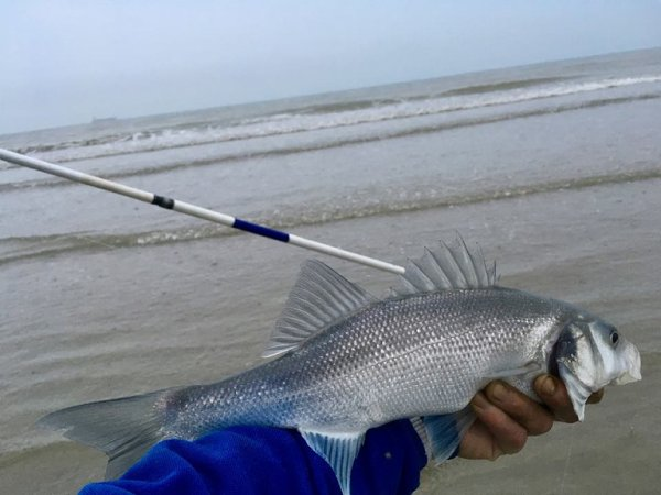 Session surfcasting à marée basse digue du Braek (26-05-18)