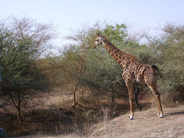 ANIMAUX AU SENEGAL