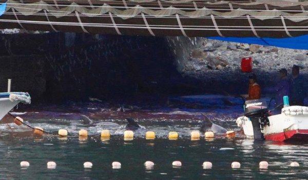 Le massacre des dauphins continue au Japon