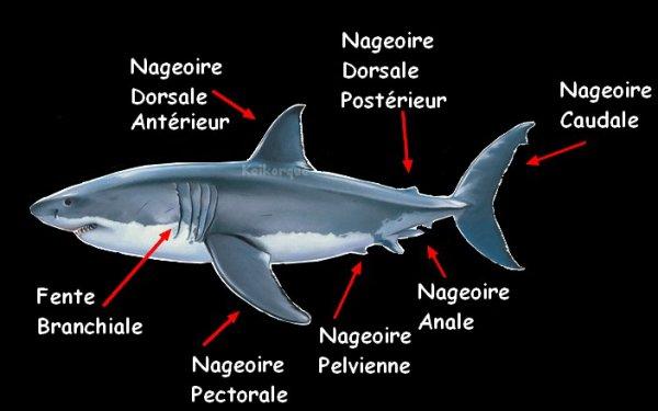 Reconnaître les différentes nageoires d'un requin