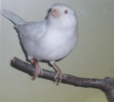 Nieuwe kweekman: in mijn ogen een super aanwinst. Albino wit Recessief
