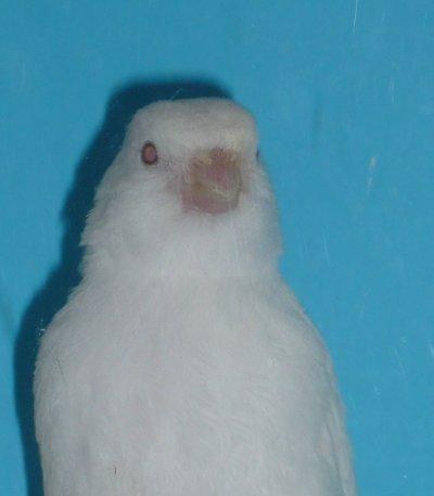 Albino geboren 13-2-2011