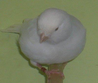 Kweekman is een topvogel ??