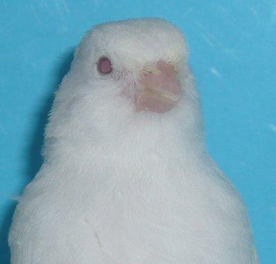 Albino's witter dan Wit ?   Albinos plus blanc que blanc?