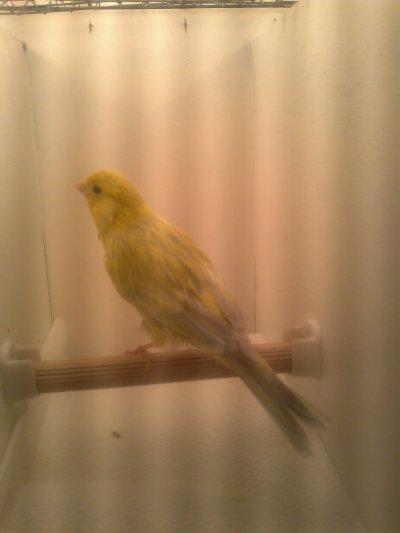 Pigment vogels klaar voor SDL Roosteren 2011