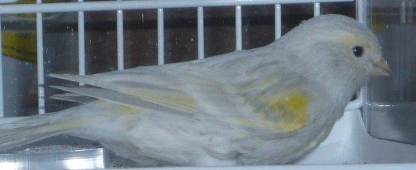 Agaat opaal Geel Mozaiek Type 1 ring 75
