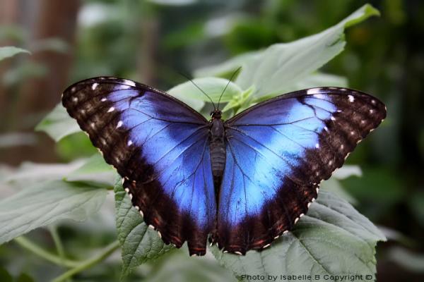 * Morpho bleu *