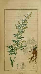 L'absinthe (Artemisia absinthium) - Famille des Astéracées.