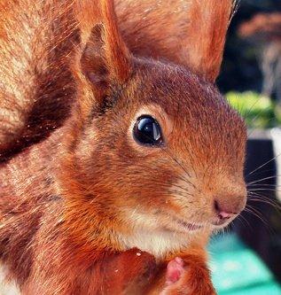 Risu le petit écureuil.