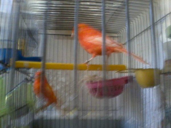 canari rouge