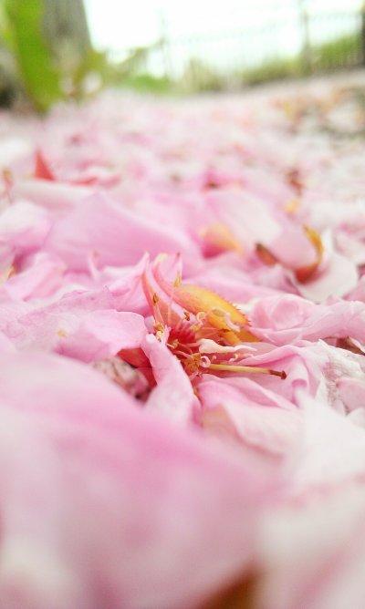 Spring Blossom -- Lamballe Avril 2014