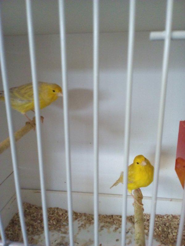 4 couples d Isabelle jaune