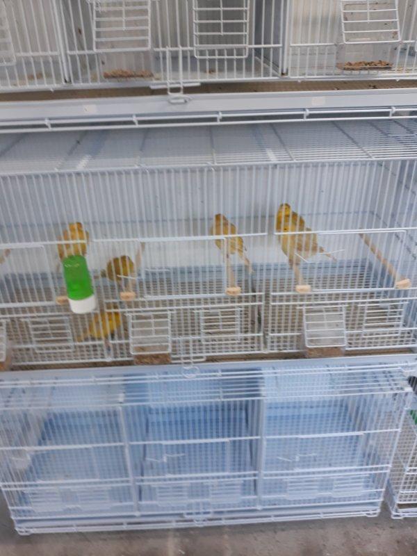 A vendre canaris Isabelle jaune et satiné jaune mâle et femelle jeune et adultes