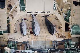 Les baleiniers japonais violent le verdict de la Cour internationale de Justice