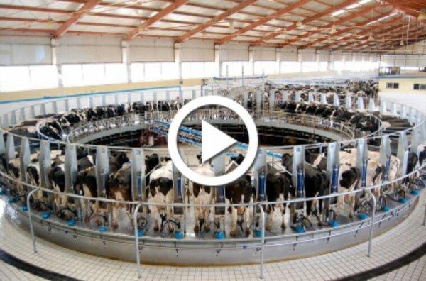 Chine : une ferme de 100.000 vaches pollue les nappes phréatiques