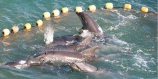 """Taiji : les chasseurs prennent au piège plus de 200 dauphins dans la """"baie de la honte"""""""