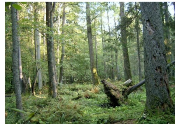 Le gouvernement polonais s'attaque à un trésor de la nature, la forêt de Bialowieza
