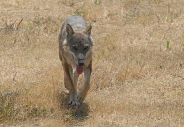 L'Italie hésite: faut-il commencer à abattre des loups?