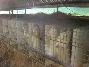la réalité des manteaux de fourrures