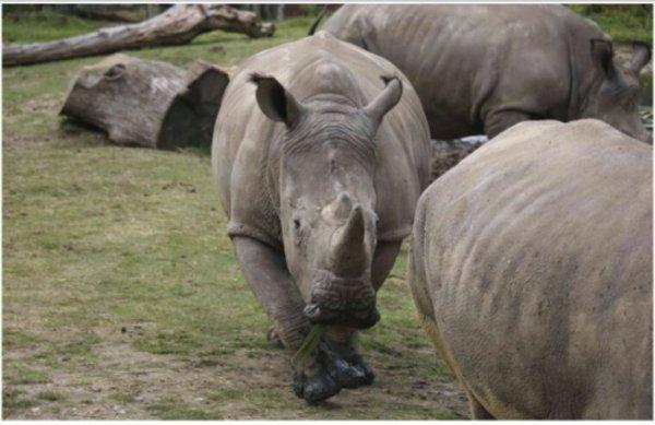 Pourquoi les cornes de rhinocéros sont-elles si convoitées ?