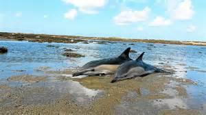 Pourquoi 10 dauphins échoués en 4 jours?