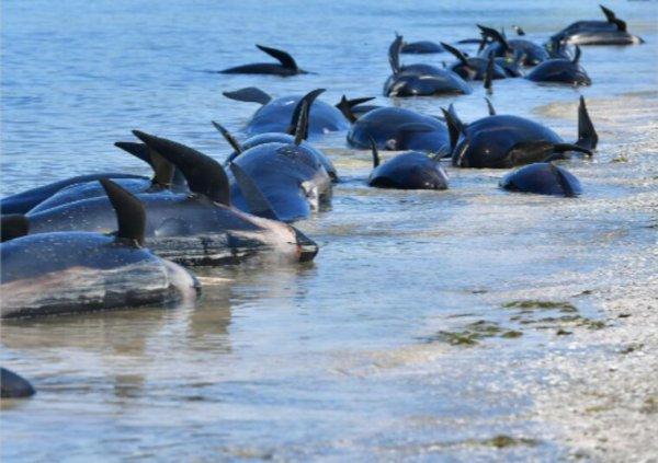 Nombreux échouages de dauphins en Vendée et en Charente-Maritime